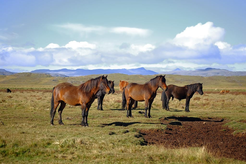 horses of iceland are very unique